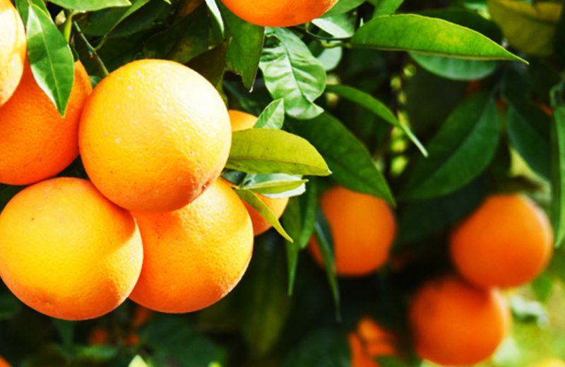 Refratômetro de Abbe- Quantificação de Vitamina C em diferentes tipos de laranja.